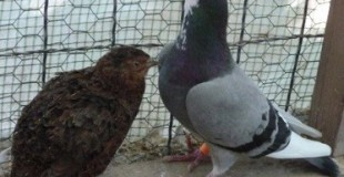 Pigeon & Caille